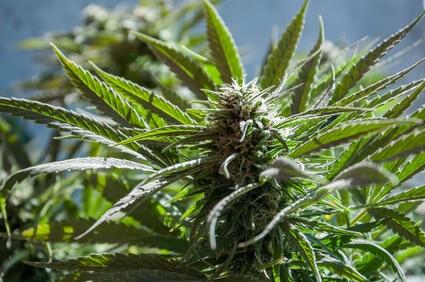 hanfprotein-eiweisspulver-aus-cannabis